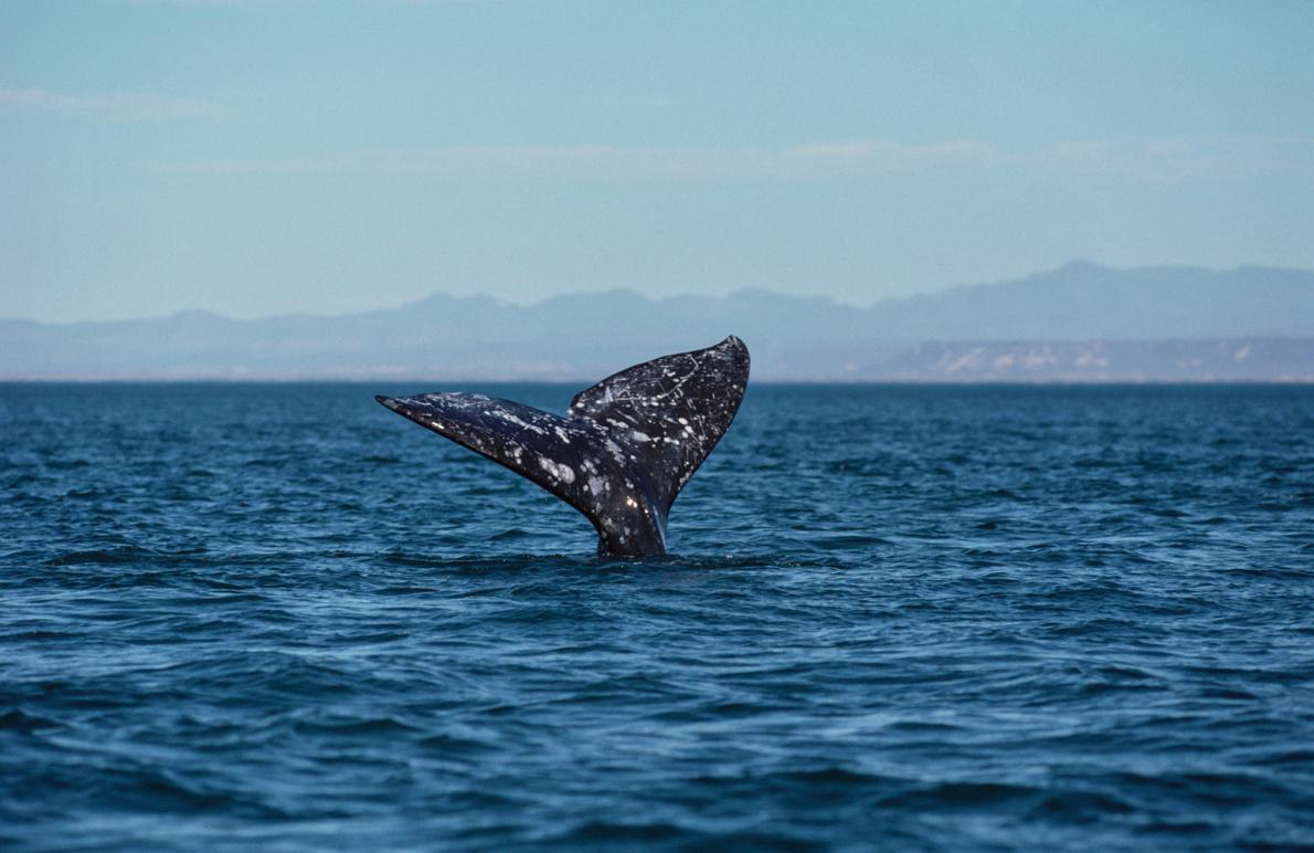 graywhale_nationalgeographic_1230317.adapt.1190.1