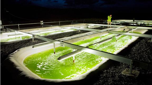 استغلال الطحالب في انتاج الوقود الحيوي