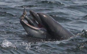 وجد العلماء أن الدلافين يستخدمون نقرات بنفس الطريقة التي يستخدم بها الإنسان الكلمات. Credit: REX
