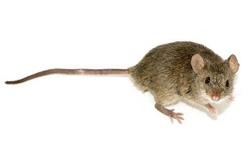 الفئران احتلت منازلنا منذ 15 ألف سنة الماضية