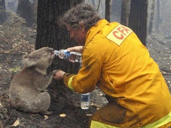 koala-gets-a-drink