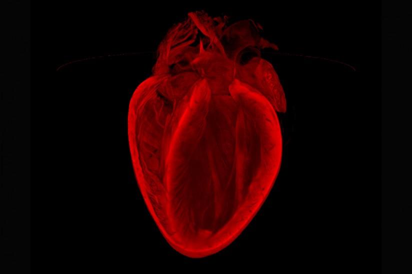 heart-2_WEB-824x549