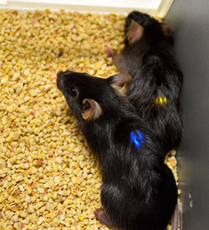 Mice with implanted LED devices