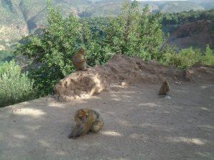 الصورة : قردة المكاك البربرية. مراد الطاهر - المجتمع العلمي المغربي -