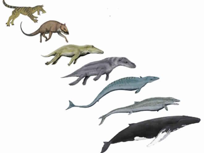 whale-evolution