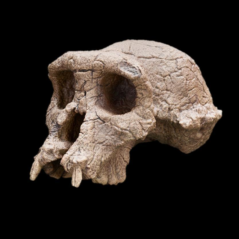 nhb2014-02878-sahelanthropus-tchadensis_sq
