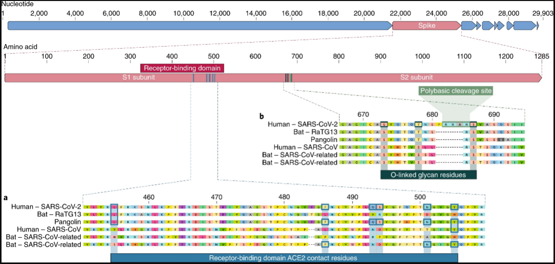 صورة توضيحية للتغيرات التي طرأت على فيروس كورونا المستجد للجين المسؤول عن بروتين الإلتصاق بالخلايا مقارنة مع فيروسات أخرى.